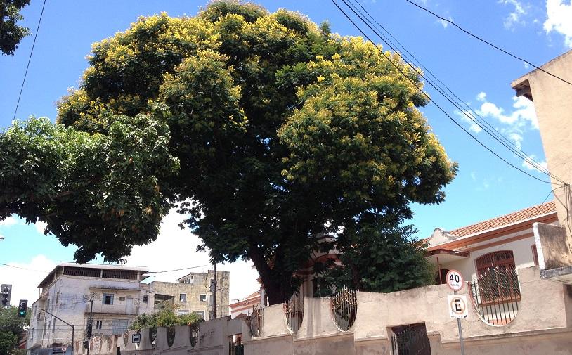 Sibipiruna em Santa Tereza. | Foto: Sérgio Verteiro
