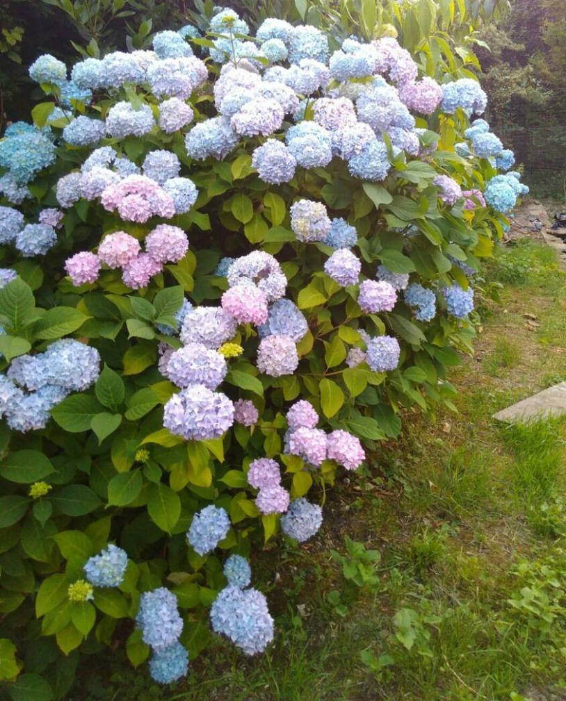 Hortênsias em jardim francês. | Foto: Morgana Tournier